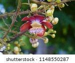 cannonball flower of cannonball ...   Shutterstock . vector #1148550287