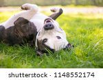 a happy pit bull terrier mixed...   Shutterstock . vector #1148552174