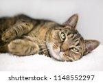a lazy domestic shorthair tabby ... | Shutterstock . vector #1148552297