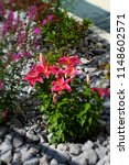 pink lilies  bush and purple...   Shutterstock . vector #1148602571