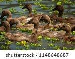 ducks swimming in a balinese...   Shutterstock . vector #1148648687