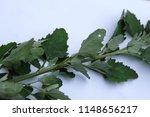 a lamb's quarter plant on a... | Shutterstock . vector #1148656217
