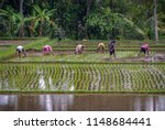 planting rice in ubud  bali ...   Shutterstock . vector #1148684441