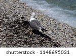 Italy  Elba Island  Seagull In...