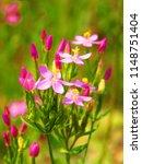 Small photo of flowers of common centaury, Centaurium erythraea, European centaury