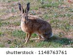 surprised looking hare with... | Shutterstock . vector #1148763761