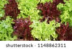 Green Oak And Red Oak Lettuce...