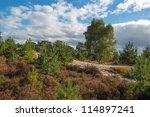Heath Landscape In A Pinewood