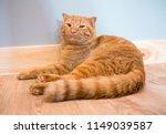 brown cat on wooden   Shutterstock . vector #1149039587