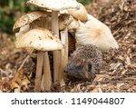 hedgehog  wild  native ... | Shutterstock . vector #1149044807