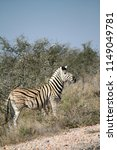 zebra at side of the road | Shutterstock . vector #1149049781
