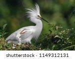 Snowy Egret In Florida