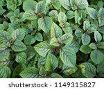 black swedish ivy plant ... | Shutterstock . vector #1149315827