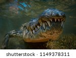 Saltwater Amercan Crocodile...