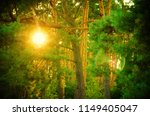 thicket of pine forest in summer   Shutterstock . vector #1149405047