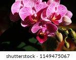 Beautiful Butterfly Orchid - Fine Art prints