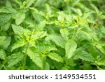 closeup of basil leaves. nature ... | Shutterstock . vector #1149534551