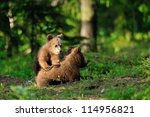 Brown Bear Cubs Playing In...