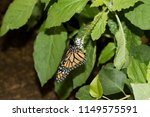 Small photo of a monarch falter drinking nectar from a little white blossom with his proboscis photographed in a tropical glasshouse with macro lens