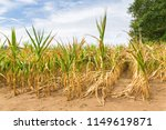 agricultural damage drought in... | Shutterstock . vector #1149619871