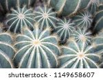 Small photo of Top-down view of beautiful light green Balloon Cacti (Notocactus magnificus) with yellow-white spines. Cacti and succulents for dish garden & terrarium, South American exotic desert house plants.