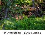 beautiful roe deer washing back ... | Shutterstock . vector #1149668561