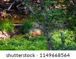 beautiful roe deer washing back ... | Shutterstock . vector #1149668564