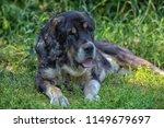 central asian shepherd dog  old ... | Shutterstock . vector #1149679697