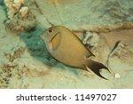 Small photo of dusky surgeonfish (acanthurus nigrofuscus)