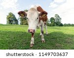 brown and white cow on the... | Shutterstock . vector #1149703637