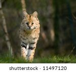 Beautiful Serval Walking...