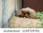 sulcata tortoise is herbivores. ...   Shutterstock . vector #1149729701