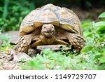 sulcata tortoise is herbivores. ...   Shutterstock . vector #1149729707