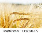 field of barley in a summer day.... | Shutterstock . vector #1149738677