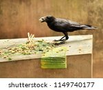 indian jungle crow eating... | Shutterstock . vector #1149740177