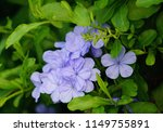 hawaiian purple flowers.  | Shutterstock . vector #1149755891