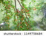 uncultivated wild tree with...   Shutterstock . vector #1149758684