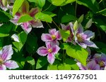 close up view to pink flowers... | Shutterstock . vector #1149767501