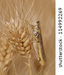 Grasshopper On Wheat Grain ...