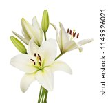 beautifult lily flowers... | Shutterstock . vector #1149926021