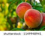 ripe peach fruits hanging on... | Shutterstock . vector #1149948941