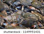 Live Chesapeake Bay Blue Crabs...