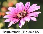 blue eyed daisy flower closeup... | Shutterstock . vector #1150036127