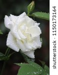 Gorgeous White Rose In Early...