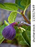 Ripe Purple Fig Hanging From A...