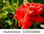Red Hibiscus Flower  China Rose ...
