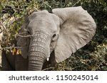 elephant in ruaha national park ... | Shutterstock . vector #1150245014