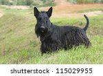 The Scottish Terrier  Scottie