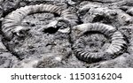 the slab with ammonites fossil... | Shutterstock . vector #1150316204