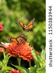 Monarch Butterfly With Orange...